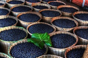 Baskets of freshly harvested acai berries.