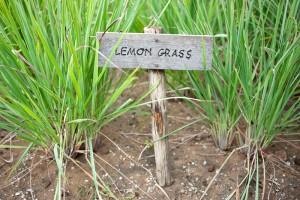 лимонева трева